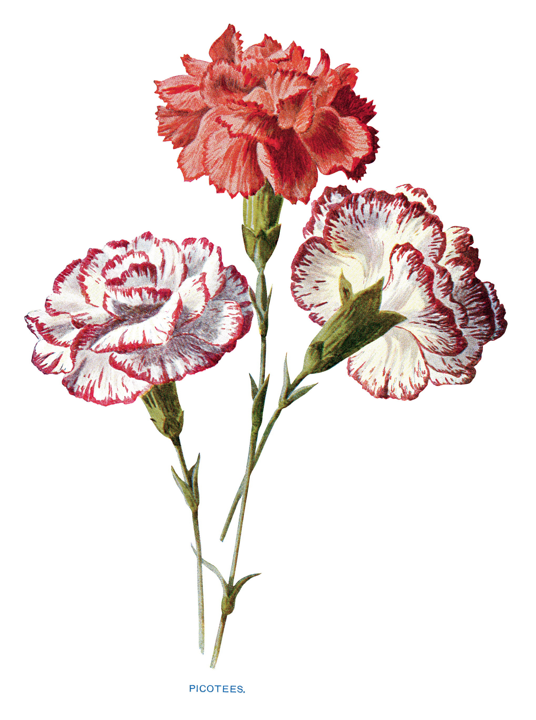 free vintage carnation flowers clip art old design shop blog red carnation clipart carnation clipart black and white