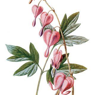 Free Vintage Printable Pink Flower Bleeding Heart