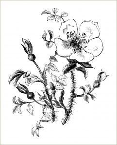 free vintage clip art rose illustration