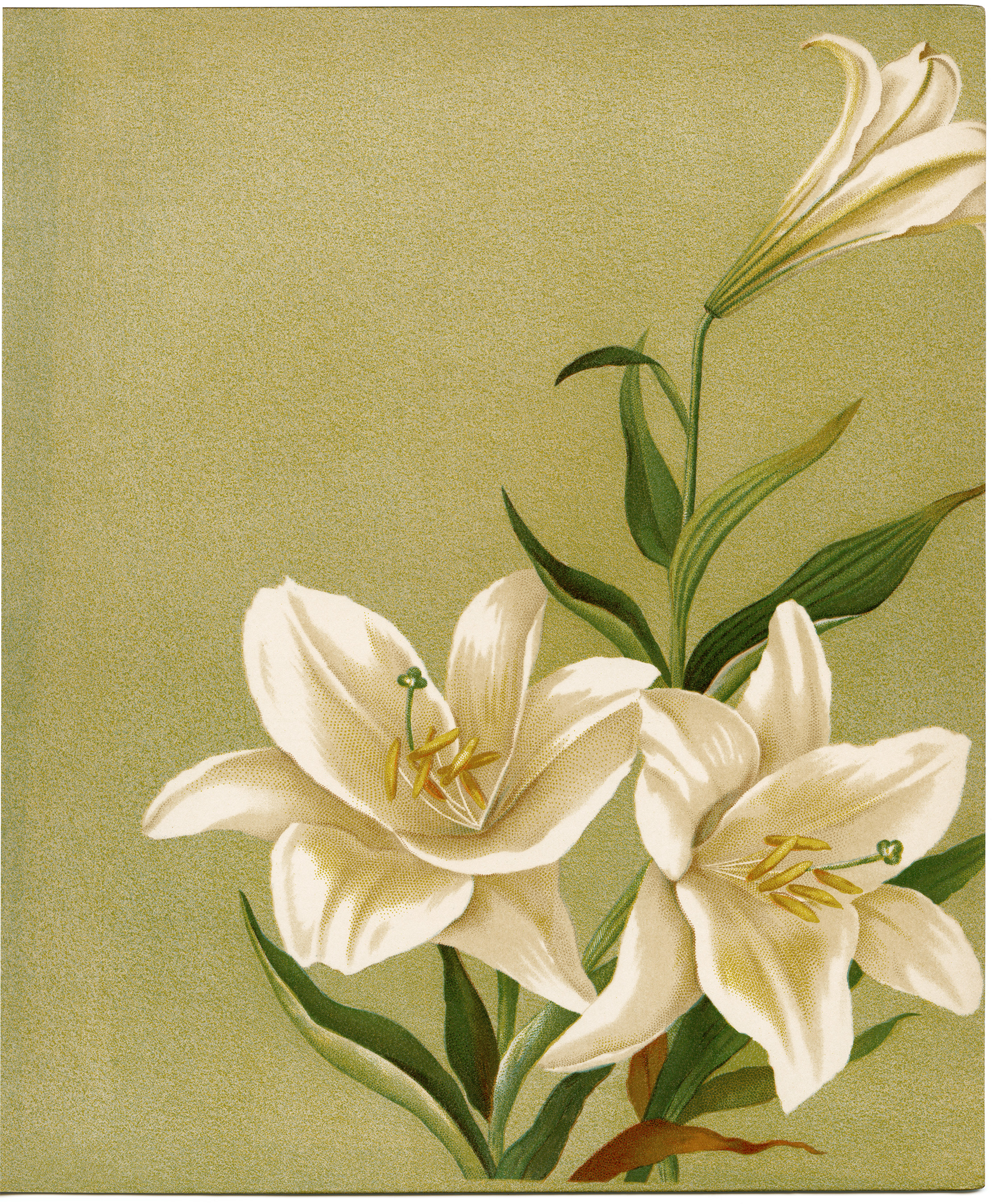 photograph regarding Vintage Printable identify Cost-free Traditional Printable White Lilies - Aged Structure Retail store Website