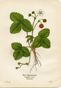 Free Vintage Printable Wild Strawberry Botanical Illustration