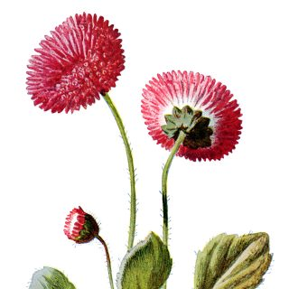 free vintage clip art double daisy pink flower illustration