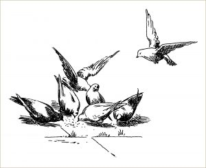free vintage bird clip art pigeons eating