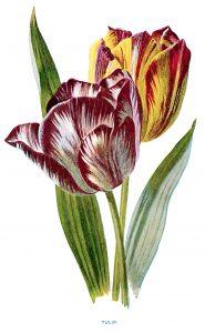 free vintage tulip clip art yellow purple flower illustration