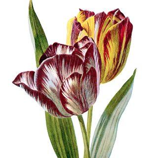 Free Vintage Clip Art Tulips