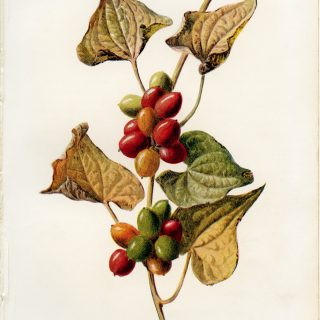 black bryony free vintage botanical clip art illustration