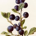 free vintage botanical clip art illustration blackthorn