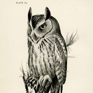 Free vintage clip art screech owl