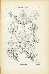 Various leaves illustration by Franz Meyer free clip art