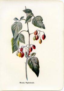 Free vintage clip art woody nightshade botanical illustration