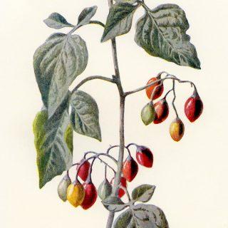 Woody Nightshade Botanical Clip Art