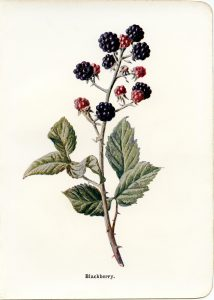 blackberry vintage botanical illustration free clip art