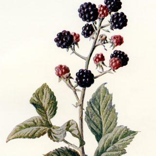 Blackberry Vintage Botanical Illustration