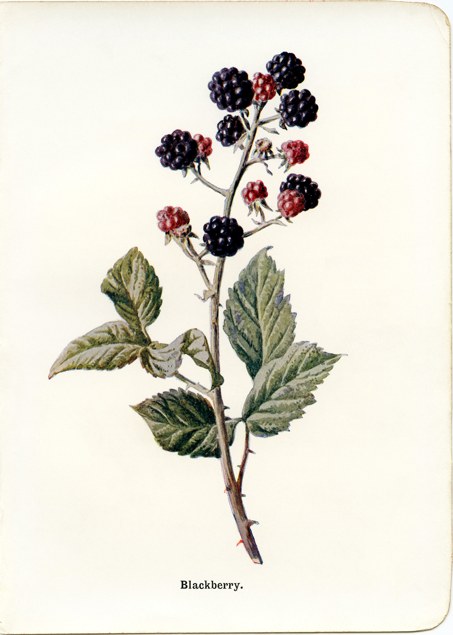 Blackberry Vintage Botanical Illustration - Old Design Shop Blog