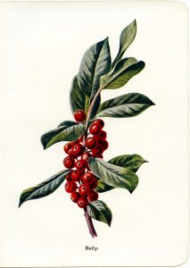 vintage holly and berries botanical illustration free clip art