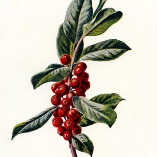 Vintage Holly Botanical Illustration