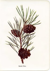 vintage pine needles and cones botanical illustration free clip art