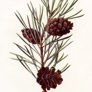 Vintage Scotch Pine Botanical Illustration