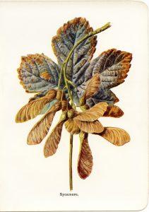 sycamore vintage botanical illustration free clip art