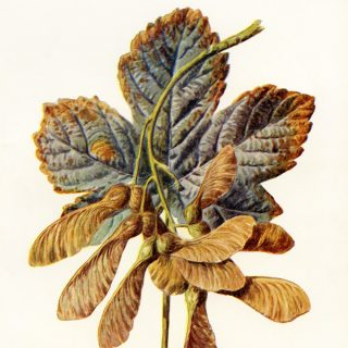 Sycamore Leaf Botanical Vintage Clip Art