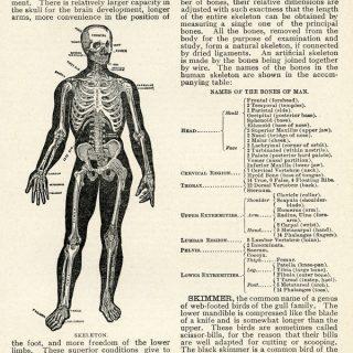 Vintage Skeleton Clip Art