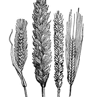 Free vintage clip art engraving of wheat