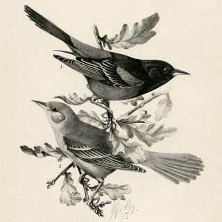 Free vintage printable orchard oriole bird illustration