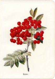 free vintage botanical clip art rowan