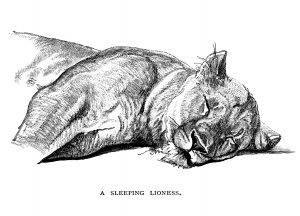 free vintage clip art sleeping lioness