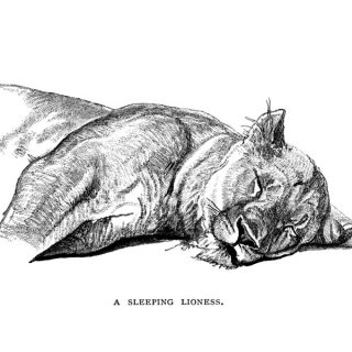 Sleeping Lioness Clip Art