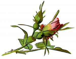 free vintage rose clip art illustration