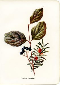 free vintage botanical clip art yew and dogwood