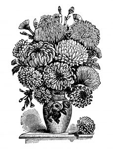Free vintage chrysanthemum clip art illustration