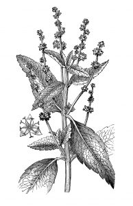 Free vintage botanical illustration annual dogs mercury plant