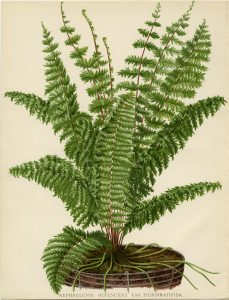 Free vintage fern illustration