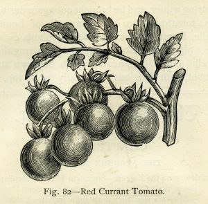 Free vintage garden illustration red currant tomato