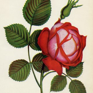 Free vintage red rose clip art illustration