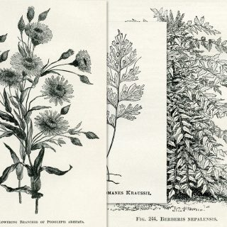 Vintage Botanical Illustrations Free Printables