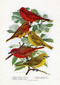 Free vintage printable bird illustration