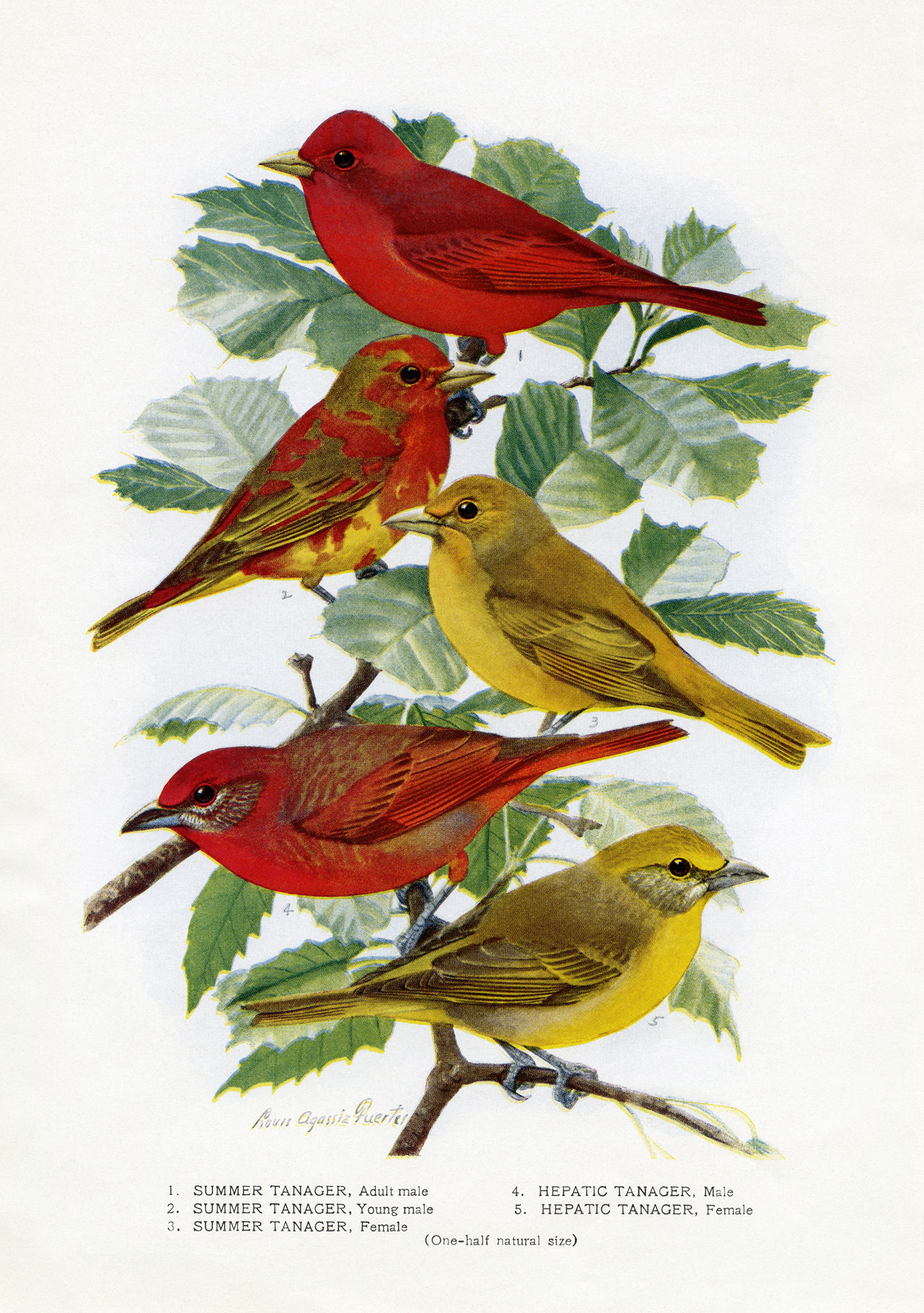 graphic about Printable Birds referred to as Birds Perched upon Leafy Department - Previous Style and design Retailer Weblog