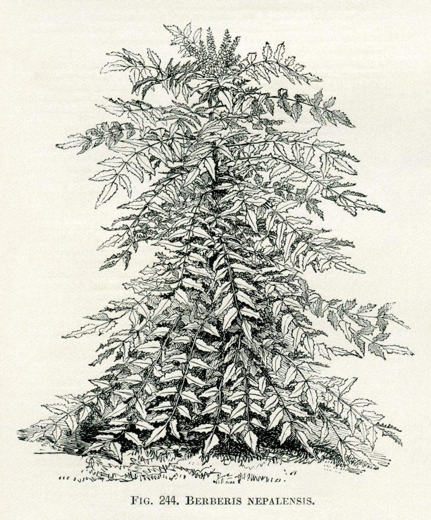 Vintage Botanical Illustrations Free Printables