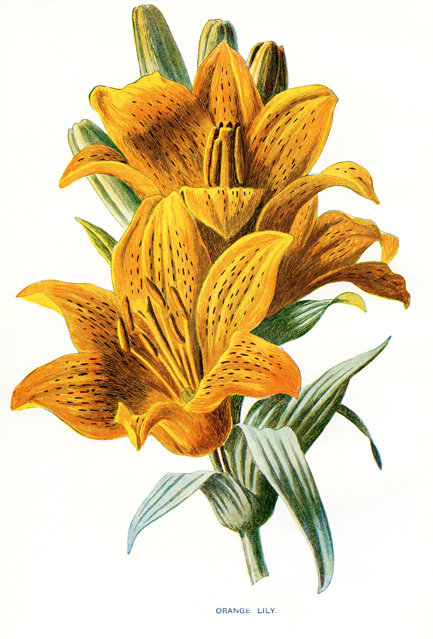 free vintage botanical flower lily illustration