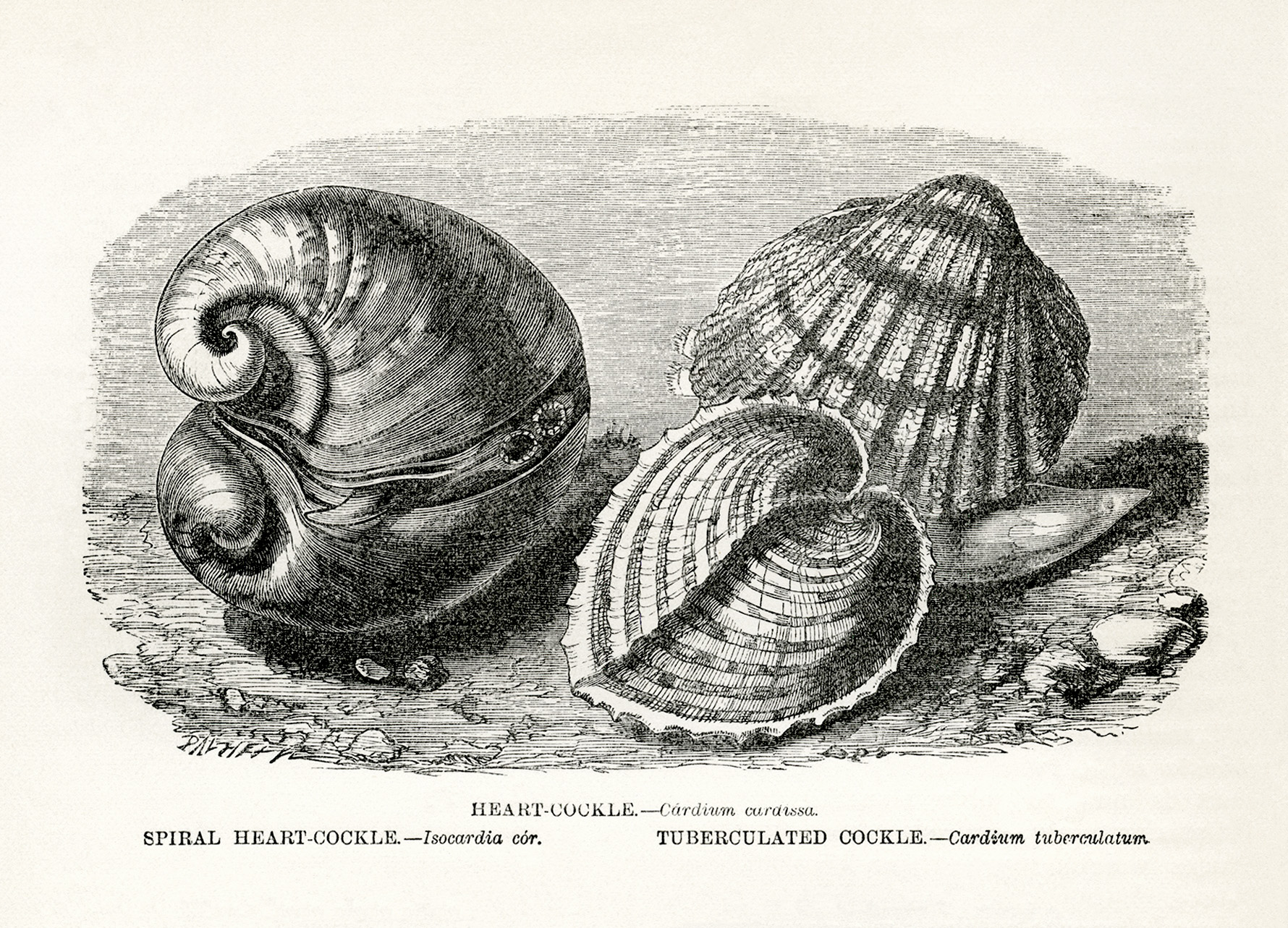 vintage sea creature cockle clip art illustration