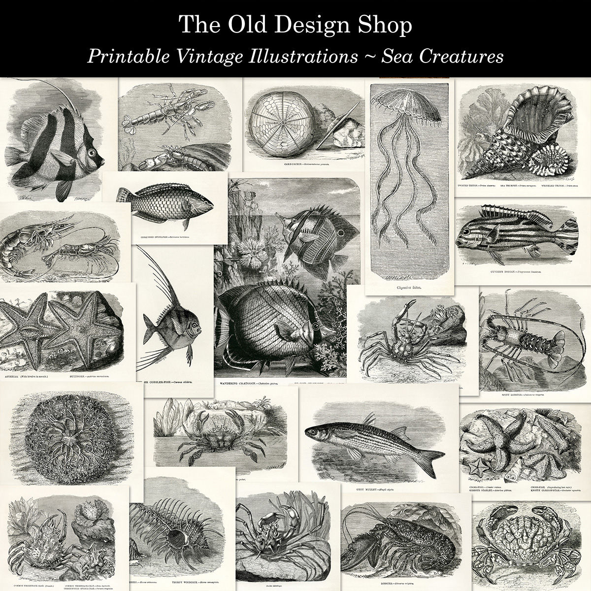 vintage sea creature clip art illustrations