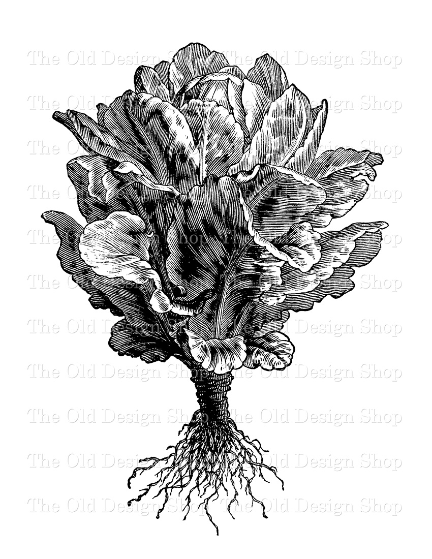 cos lettuce vintage clip art illustration