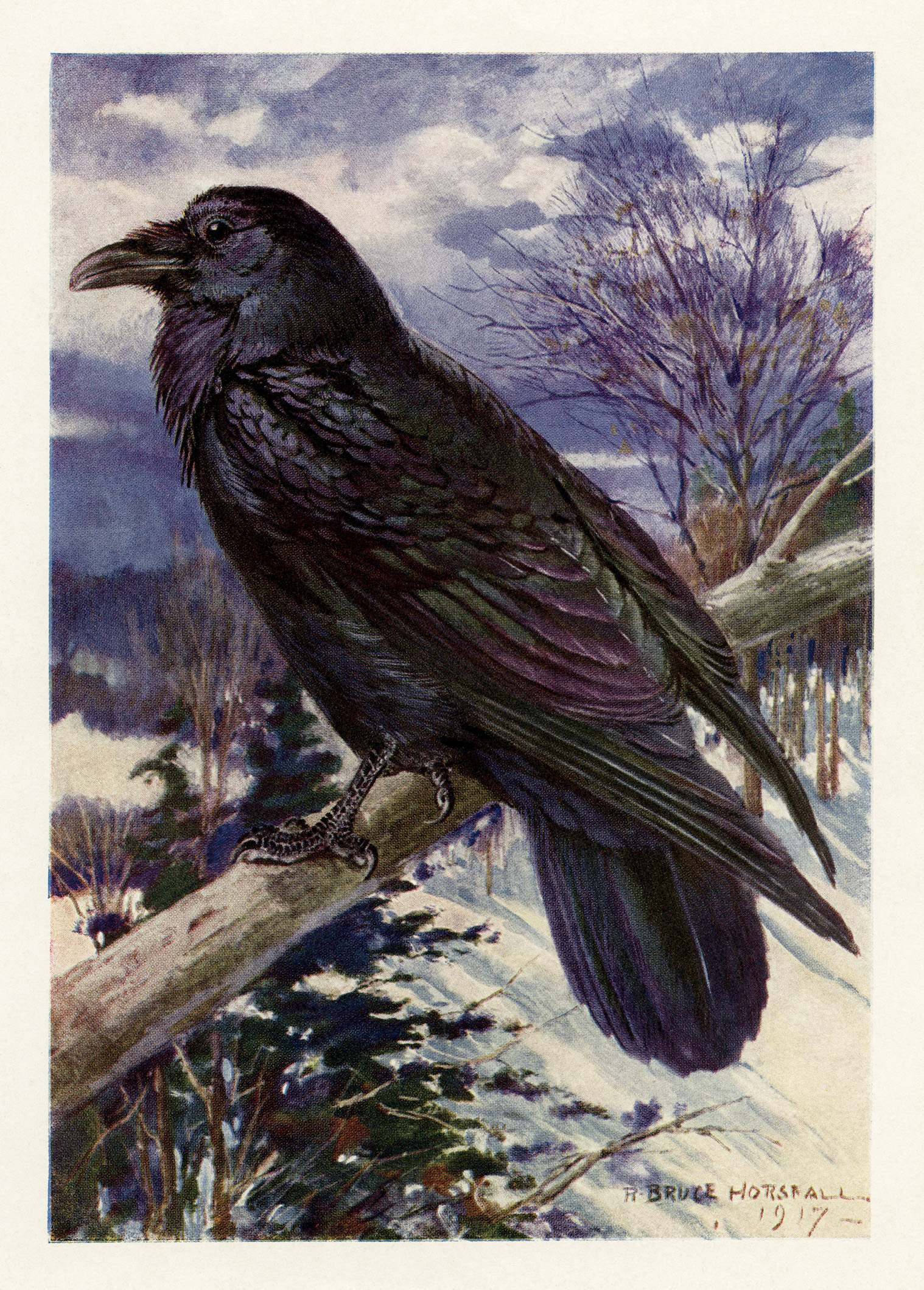 Northern Raven free printable vintage bird illustration