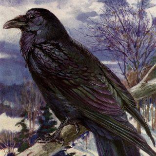 Northern Raven Vintage Bird Illustration
