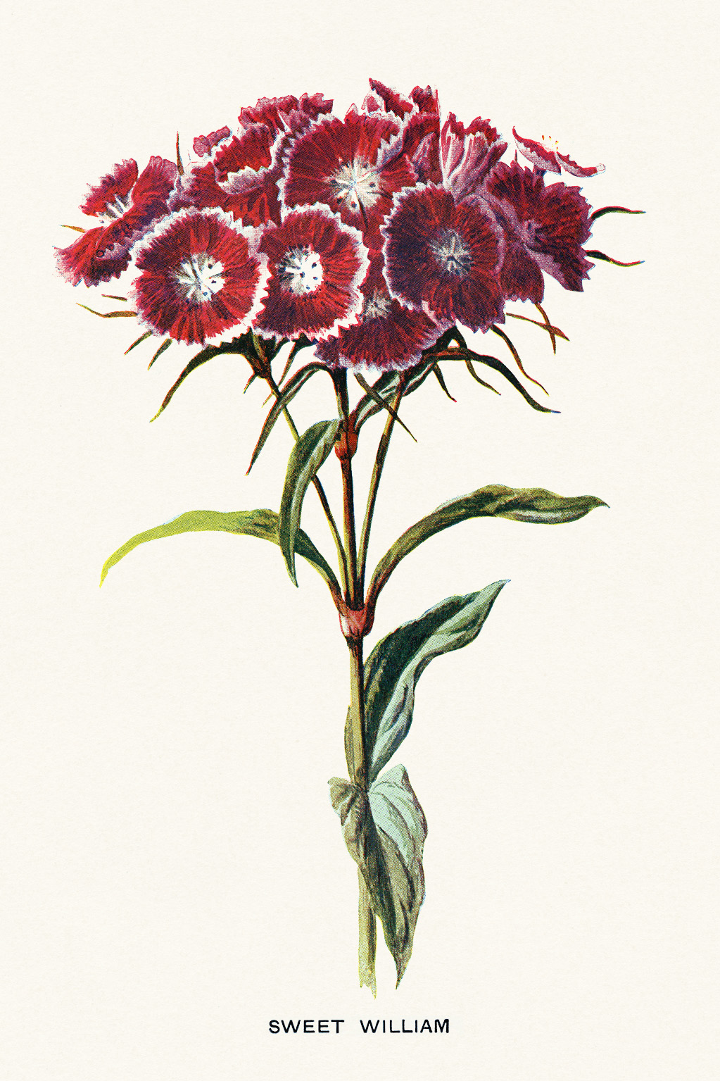Free printable vintage floral illustration Sweet William