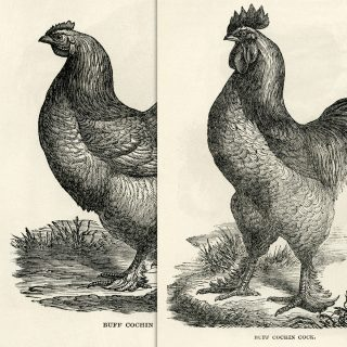 free printable buff cochin chicken hen rooster