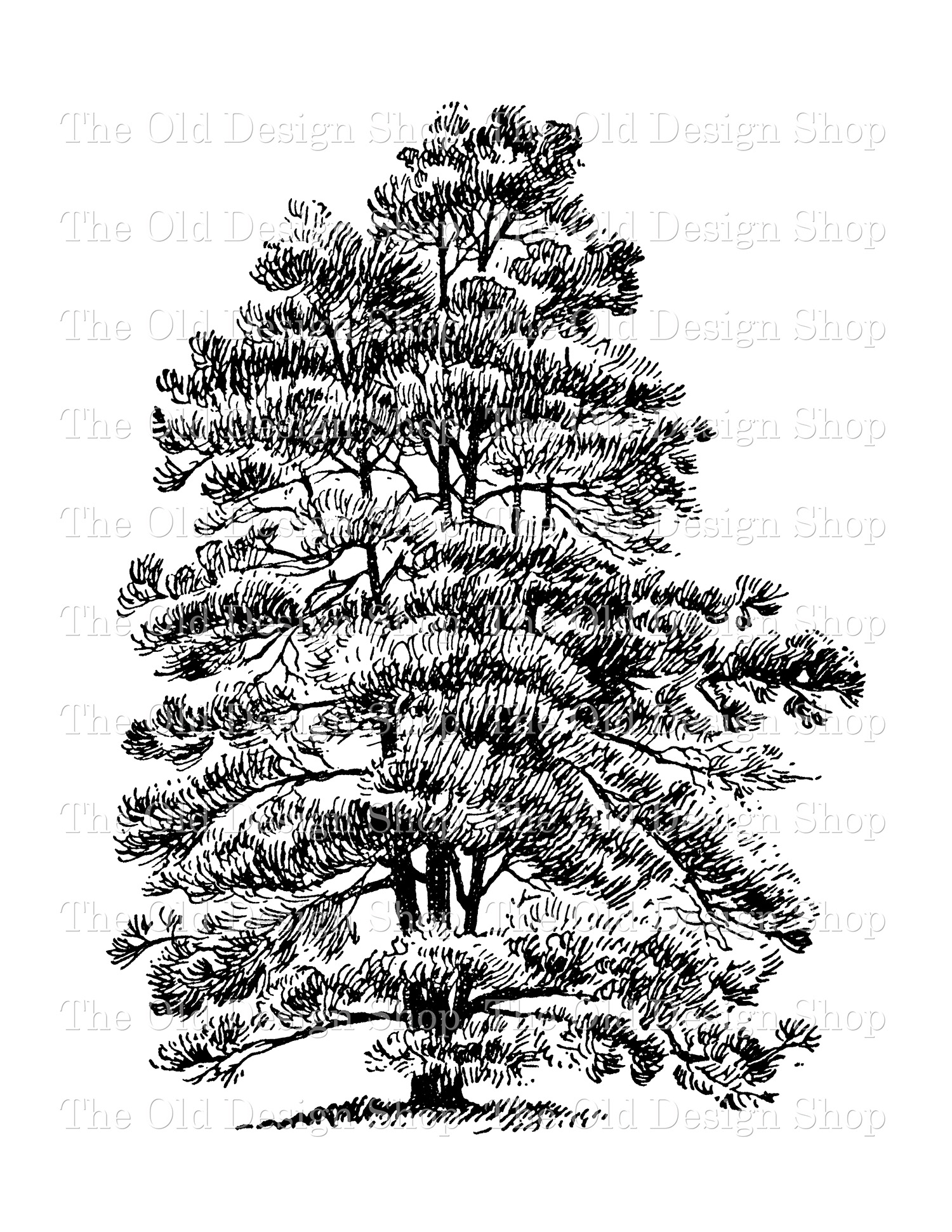digital stamp transfer image corsican pine tree clip art